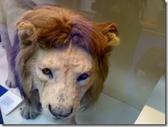 Lion after Taxidermy